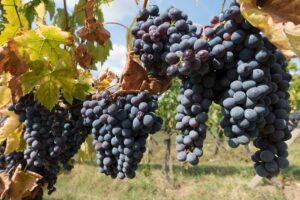 winegrowing-972891_960_720